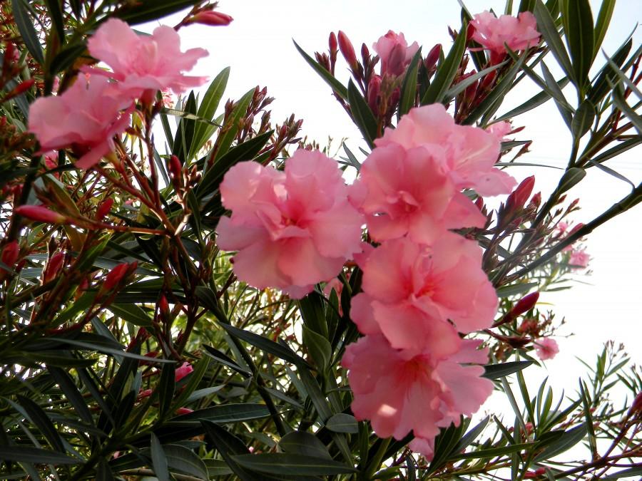 Fotorevista sandra m garcia laurel de jard n - Laurel de jardin ...